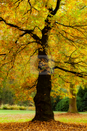 Autumn splendor stock photo, Golden trees in a park in full autumn splendor by Anneke