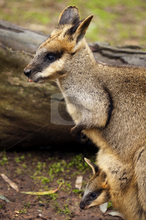 Peeking at the World stock photo, A young Yellow-Footed Rock Wallaby Joey peeks out from Mom's pouch. by Mike Dawson