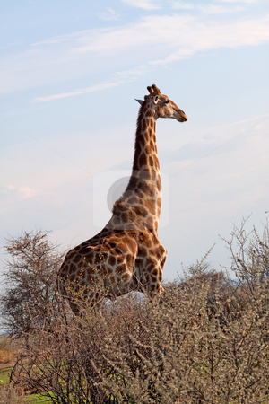 Giraffe (Giraffa camelopardalis) stock photo, Giraffe (Giraffa camelopardalis) in the Etosha National Park, Namibia, October 2009 by Manuela Schueler