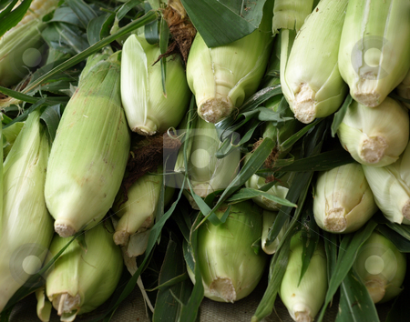 Corn stock photo, Corn in still in the husk for sale at the market by Tim Markley