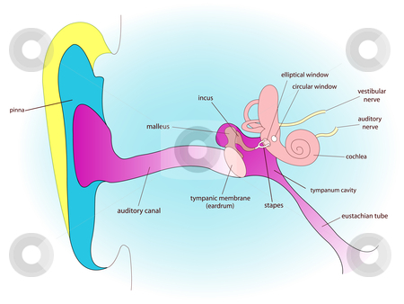 Ear anatomy stock vector clipart, Ear anatomy, abstract vector art illustration by Laschon Robert Paul