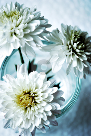 Chrysanthemums stock photo, White chrysanthemums by HD Connelly