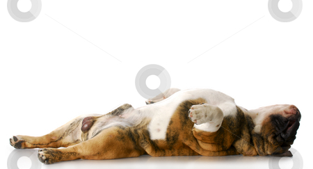 Sleeping dog stock photo, English bulldog laying on back stretched out sleeping with reflection on white background by John McAllister