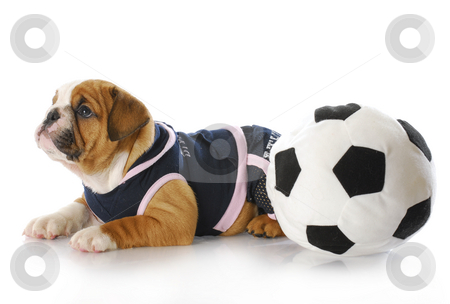 Puppy with soccerball stock photo, English bulldog puppy female wearing sports jersey playing with soccer ball by John McAllister