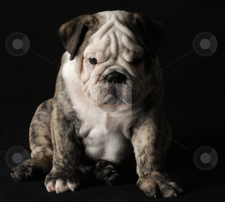Bulldog puppy stock photo, English bulldog puppy sitting on black background by John McAllister