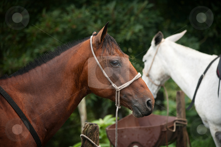 Horse stock photo, Profile of a horse maintained for tourist riders in Costa Rica by Scott Griessel