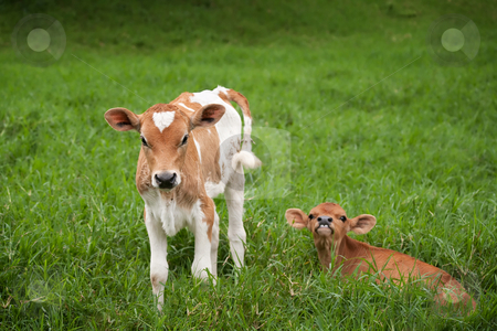 Costa Rican calves stock photo, Costa Rican calves on a rustic dairy farm by Scott Griessel