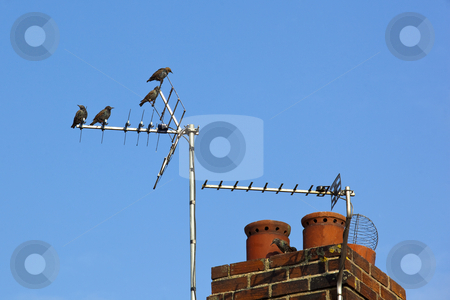 Starlings on a chimney stock photo, A group of starlings on a chimney pot against a blue sky by Mike Smith