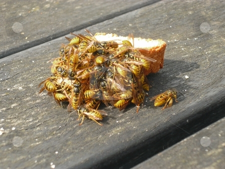 Wasps stock photo, Wasps feasting on a biscuit left on a table in a pub by Casinozack