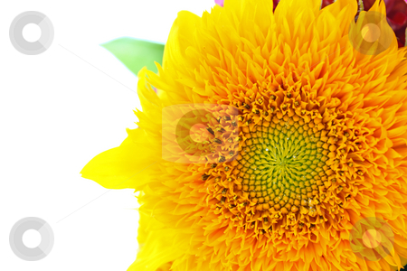 Sunflower stock photo, Beautiful sunflower isolated on white background, closeup by Borislav Marinic