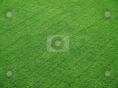 Green field on rows from above. stock photo, Green field on rows from above. by Oleksiy Fedorov