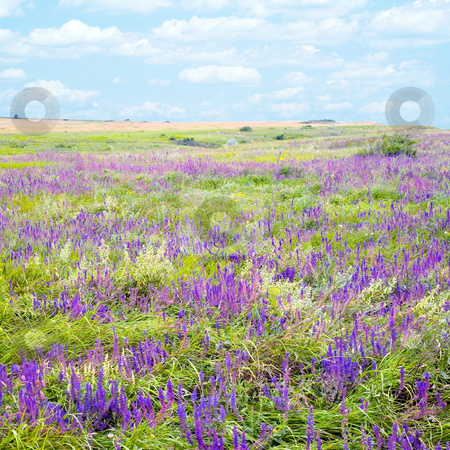 Steppe. stock photo, Violet flower on steppe. by Oleksiy Fedorov