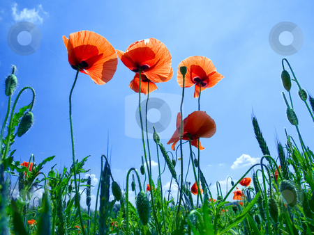 poppy flowers. stock photo, Red poppy flowers on blue sky background ...