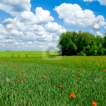 Red poppy on green field. stock photo, Tranquil rural landscape. by Oleksiy Fedorov