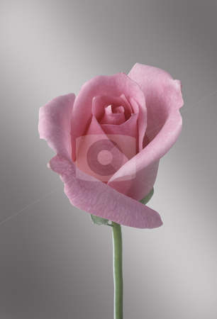 Single pink rose stock photo, Single pink rose against gray gradated background by J.R. Bale