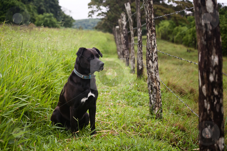 Watchful dog stock photo, Watchful dog looking through a barbed wire fence by Scott Griessel