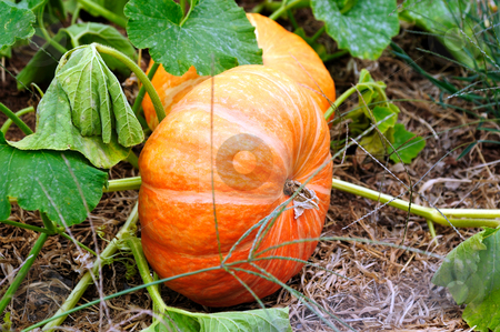 Cinderella Pumpkins stock photo, Cinderella Pumpkins growing on the vine almost ready for Halloween. These are an heirloom variety of the normal type of pumpkin. by Lynn Bendickson