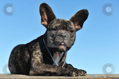 Puppy french bulldog stock photo, Portrait of a puppy french bulldog on a blue sky by Bonzami Emmanuelle