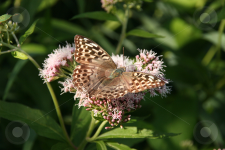Silver-washed Fritillary (Argynnis paphia) stock photo, Silver-washed Fritillary (Argynnis paphia) - female on a flower by Torsten Dietrich