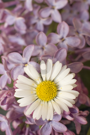 Daisy stock photo, Daisy in the middle of some pink tree flowers by Robert Remen