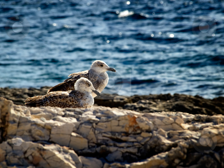 Young gulls stock photo, Two young seagull  are resting on the rocky coast of the Adriatic Sea. by Sinisa Botas