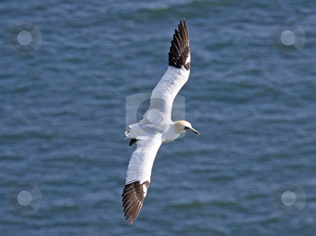 Soaring seagull stock photo, Side view of soaring seagull in flight over blue sea. by Martin Crowdy