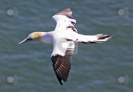 Seagull in flight stock photo, Side view of seagull in flight over blue sea. by Martin Crowdy