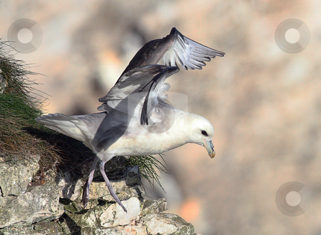 Seagull on cliff stock photo, Side view of seagull on cliff with copy space. by Martin Crowdy