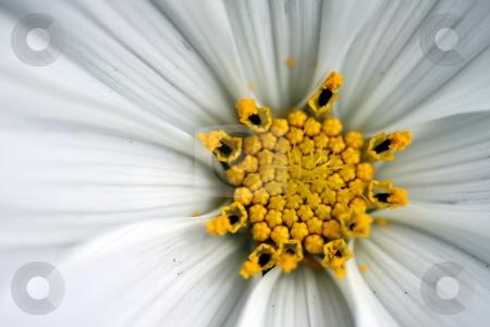 Sonata cosmos white stock photo, Close up macro of a sonata cosmos white by Henrik Lehnerer