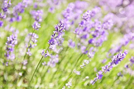 Lavender blooming in a garden stock photo, Botanical background of blooming purple lavender herb in a garden by Elena Elisseeva