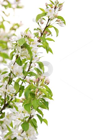Blooming apple tree branch stock photo, Blooming apple tree branch isolated on white background by Elena Elisseeva
