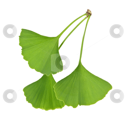 Ginkgo Biloba leaves stock photo, Three green ginkgo biloba leaves isolated on white background by Elena Elisseeva