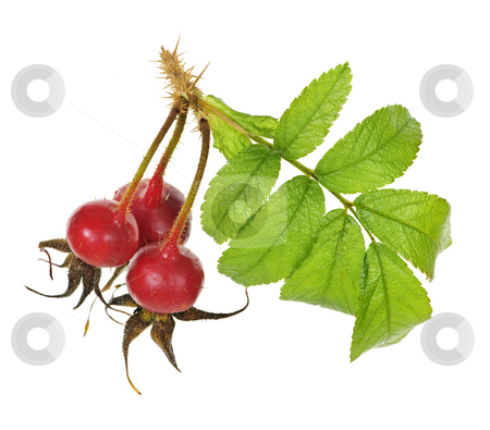Branch with rose hips stock photo, Rose branch with rosehips isolated on white background by Elena Elisseeva