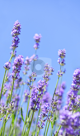 Lavender blooming in a garden stock photo, Lavender herb blooming in a garden with blue sky by Elena Elisseeva