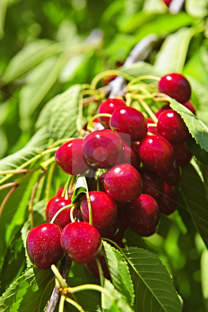 Bunch of cherries on tree stock photo, Bunch of fresh cherries growing on cherry tree by Elena Elisseeva