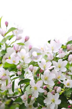 Apple blossoms background stock photo, White and pink blossoms on apple tree branches on white background by Elena Elisseeva