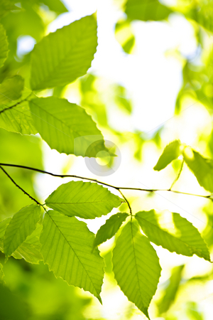 Green spring leaves stock photo, Green spring elm leaves  in clean environment, natural background by Elena Elisseeva