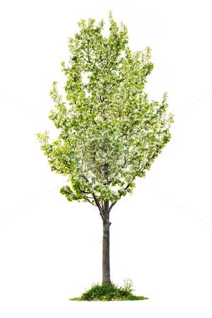 Isolated flowering pear tree stock photo, Single young flowering pear tree isolated on white background by Elena Elisseeva
