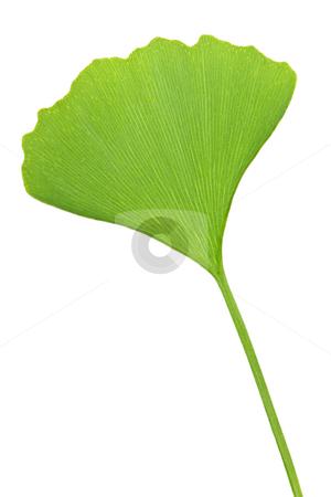 Ginkgo Biloba leaf stock photo, Green ginkgo biloba leaf isolated on white background by Elena Elisseeva