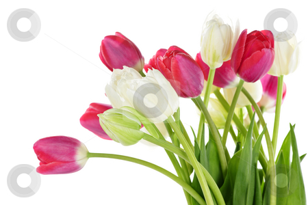 Red and white tulips stock photo, Red and white spring tulips isolated on white background by Elena Elisseeva