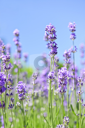 Lavender blooming in a garden stock photo, Lavender herb blooming in a garden with blue sky by Elena Elisseeva