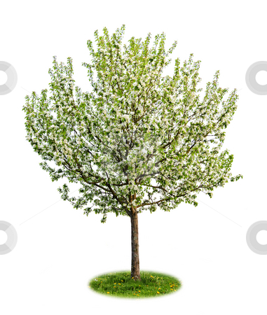 Isolated flowering apple tree stock photo, Single young flowering apple tree in spring isolated on white background by Elena Elisseeva