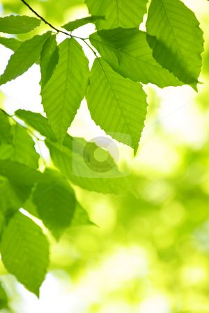 Green spring leaves stock photo, Green spring tree leaves  in clean environment, natural background by Elena Elisseeva