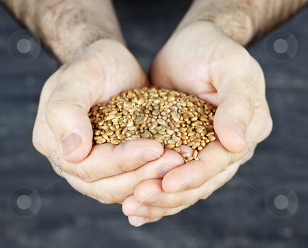 Hands holding grain stock photo, Male cupped hands holding whole wheat grain kernels by Elena Elisseeva
