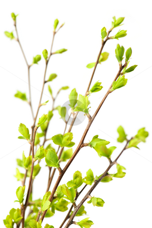 Branches with green spring leaves stock photo, Branches with young green spring leaves budding isolated on white by Elena Elisseeva
