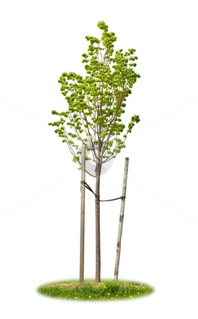Isolated young linden tree stock photo, Young linden tree held with wooden stakes isolated on white background by Elena Elisseeva