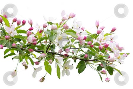 Blooming apple tree branch stock photo, Blooming apple tree branch isolated on white background by Elena Elisseeva