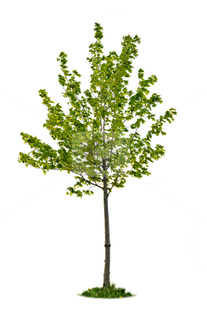 Isolated young maple tree stock photo, Single maple tree with green leaves isolated on white background by Elena Elisseeva