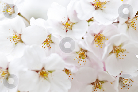 Apple blossoms stock photo, Delicate apple tree blossoms in spring close up by Elena Elisseeva