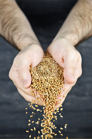 Hands pouring grain stock photo, Male cupped hands pouring whole wheat grain kernels by Elena Elisseeva